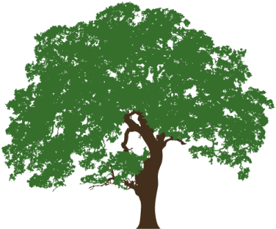Texas Live Oak Illustration